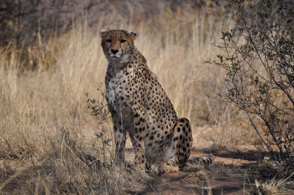 Aprillia- Harrison Cameras sponsored Cheetah