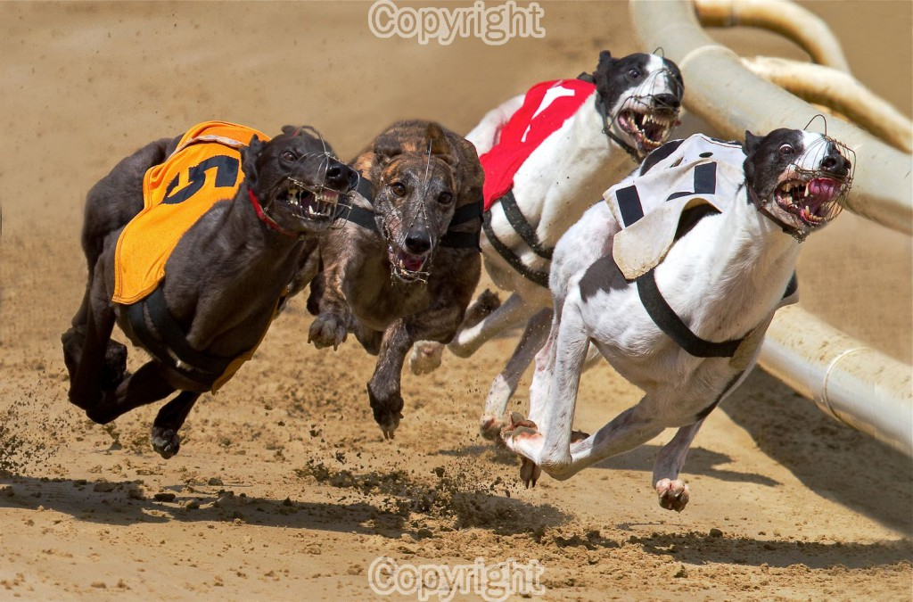 I was lucky enough to capture this greyhound image in full flight.